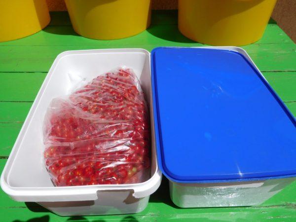 Zamrzovanje jagodičja - rdečega ribeza